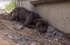 Deze hond leeft gevaarlijk dicht in de buurt van een snelweg en wordt op spectaculaire wijze gered