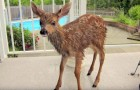 A woman saves a fawn from the pool, but soon after there's a surprise for both