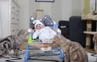 El neonato ha llegado a la casa...la reaccion de los 5 gatos es tiernisima!