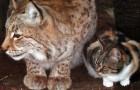 Un chat se faufile dans un zoo pour saluer un ami... sous le regard incrédule de tous