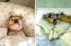 Honden die zich de bedden van hun baasjes hebben toegeëigend en niet van plan zijn om op te staan!