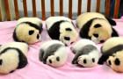 Ecco cosa vuol dire lavorare in un asilo nido per panda