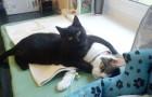 Radamenes, de kat die postoperatieve dieren troost met een