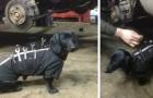 Que fait un teckel dans un garage? Beaucoup plus que vous le pensez!