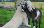 10 honden die kennis hebben gemaakt met een geit en die ze nooit meer uit het oog willen verliezen