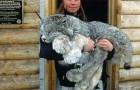De Canadese lynx is een uniek en schitterend schepsel mede dankzij zijn enorme poten