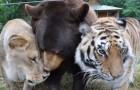 L'incredibile esperienza che ha reso un orso, una tigre e un leone amici per la pelle