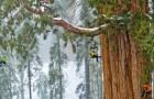 Voici le séquoia de 3200 ans, que personne n'avait jamais photographié en entier