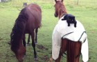 Two beautiful horses are cuddling eachother, but keep your eyes on the cat ...