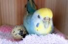 Dà al pappagallo un uovo di quaglia del supermercato e accade l'incredibile