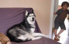 When the father says he will cook potatoes for dinner --- the reaction of the Husky leaves them speechless!