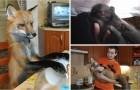 Nonostante le difficoltà, un ragazzo adotta una volpe per salvarla da un destino orribile