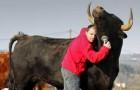 Deze stier werd gered van het stierenvechten: hun vriendschap overschrijdt alle verwachtingen