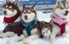 3 Husky salvano una gattina da morte certa... Oggi sono amici INSEPARABILI