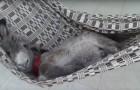 Een ezeltje ligt lekker in een hangmat... zijn tevreden uitdrukking is onbetaalbaar!