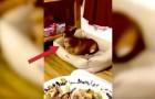 Il cane guarda il cibo del padrone... ma quando lui se ne accorge? Esilarante!