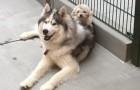 La spettacolare amicizia tra due cani randagi così diversi e così inseparabili