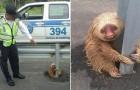 Gli agenti arrivano per salvare un bradipo... e lui li ricambia con un sorriso irresistibile