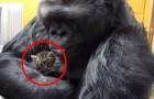 Een gorilla neemt een kitten in haar armen... wat ze dan doet is prachtig!