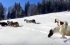 Na het loslaten van deze paarden in de sneeuw, zijn we getuige van een prachtig spektakel