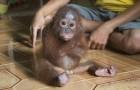 Deze kleine orang-oetan blijft zichzelf steeds omhelzen... de reden hiervoor is hartverscheurend