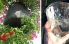 Wie man Tomaten in Plastikflaschen mit dem Kopf nach unten anbauen kann...Perfekt für den Balkon!