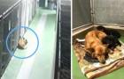 Un chien s'échappe de sa cage dans le refuge: ce qu'il va faire va étonner même les bénévoles