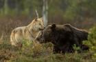 Per 10 giorni un fotografo ha seguito una lupa ed un orso: non poteva credere ai suoi occhi