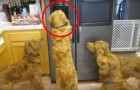 These dogs discover an ice machine in the kitchen! ... and now they can think of nothing else!
