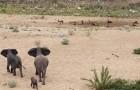 El cachorro de elefante es amenazado de los perros salvajes africanos, pero lo que hace la manada es maravilloso