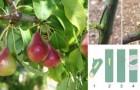 Innestare gli alberi da frutto è più facile di quanto pensi! Ecco quando e come farlo