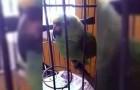 Questo pappagallo imita alla perfezione il pianto di un bambino... Da non credere!