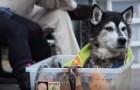 So sollten alle alten Hunde behandelt werden: Das ist Liebe pur