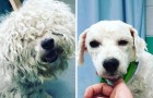 Un uomo decide di tosare gratis i cani randagi più anziani...peraiutarli a trovare una famiglia