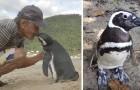 Een pinguïn legt elk jaar 8000 km af om de man die ooit zijn leven redde te begroeten