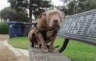 Een pitbull is achtergelaten op een bankje: maar iemand ontfermt zich over haar