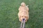 Pocas cosas en el mundo pueden hacernos reir como nuestros amigos los perros: miren esto!