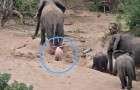 Un elefantino albino è stato avvistato in Africa: un evento più unico che raro