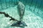 Duikers vinden twee dieren die vastzitten in een onderwaterkooi: wat kan hier de reden voor zijn?