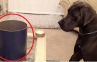 They put a box in front of a Great Dane --- When he discovers what's inside his reaction is adorable!