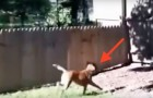 Ein Mann baut einen Käfig für den Hund, aber schaut mal, was dann passiert