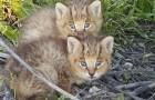 Deze twee kittens zijn achtergelaten op straat, maar al snel is duidelijk dat dit geen normale kittens zijn