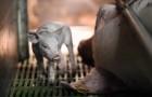 Una fotografa entra in un allevamento di maiali: i loro sguardi valgono come mille parole