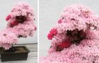 Dit zijn een aantal van de oudste en meest betoverende bonsaibomen die je kunt bewonderen