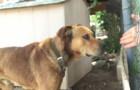 Ce chien a passé 10 ans attaché à une chaîne: voilà comment cet homme réussit à l'emporter