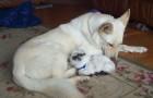 Cette petite chèvre a un besoin désespéré d'une mère. Comment réagit la chienne? A voir!