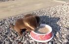 Trova due piccole lontre affamate: appena mette in terra la ciotola aprite bene le orecchie! Wow!