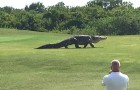 A GIGANTIC alligator suddenly appears on a golf course --- Creepy AND fascinating!