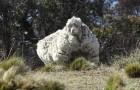 Un mouton sort du troupeau: ils le retrouvent après 5 ans avec 40 kg de laine sur lui