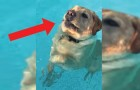 A Labrador fights to stay afloat --- Until he makes an illuminating discovery!